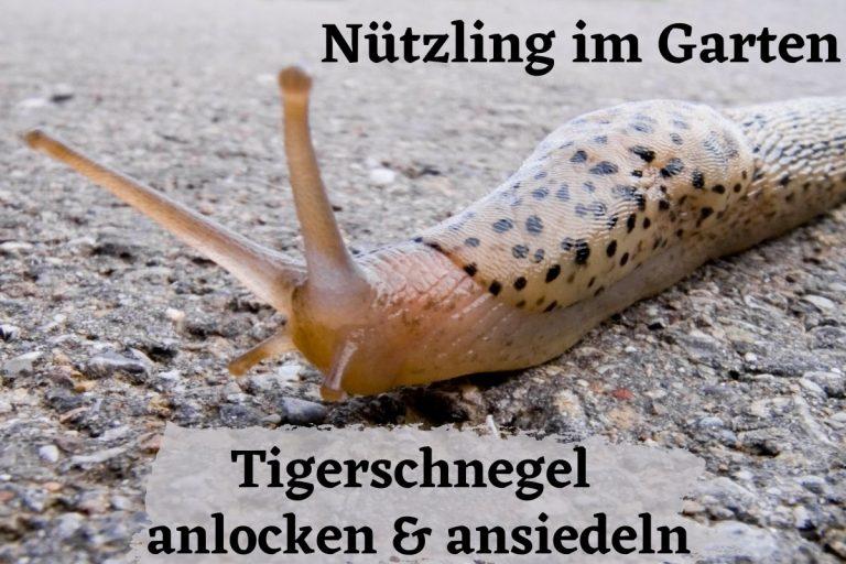 Nützling im Garten: Tigerschnegel anlocken & ansiedeln - Titelbild