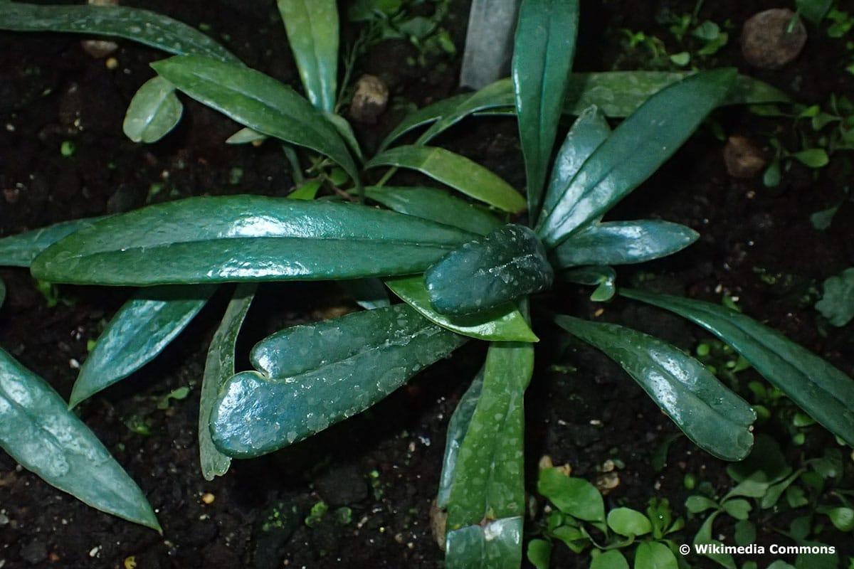 Ölfarn (Microsorum thailandicum)