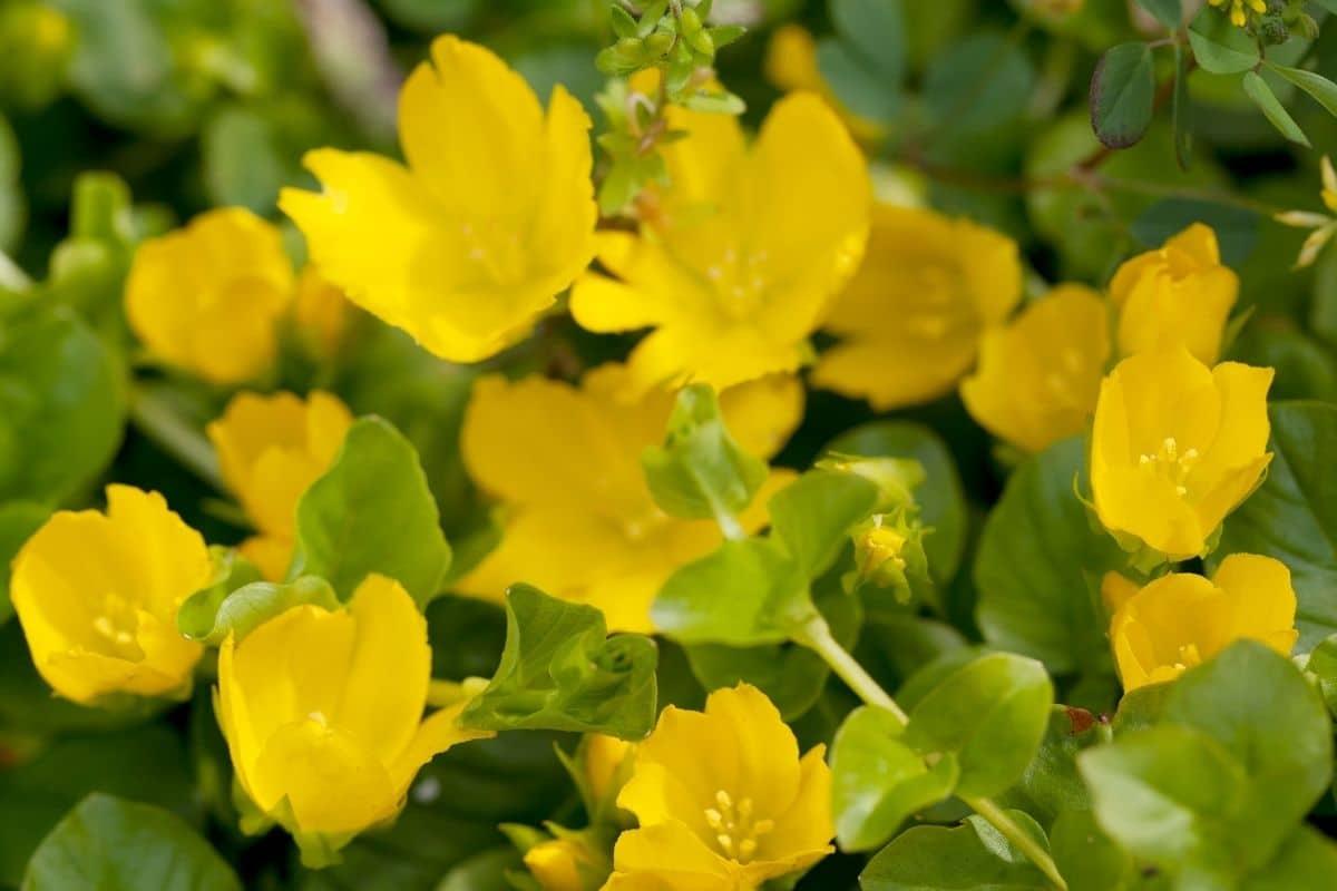 Winterharte Hängepflanzen: Pfennigkraut (Lysimachia nummularia)