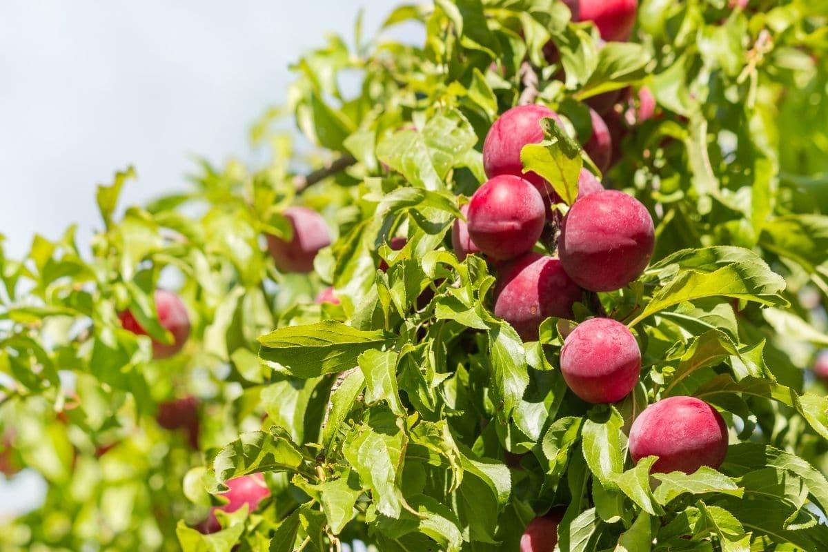 Pflaumenbaum in der prallen Sonne
