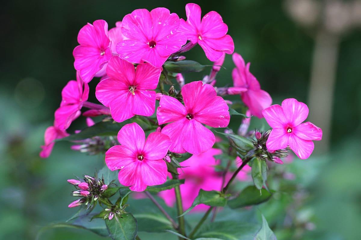 Flammenblume (Phlox) bei der Blüte