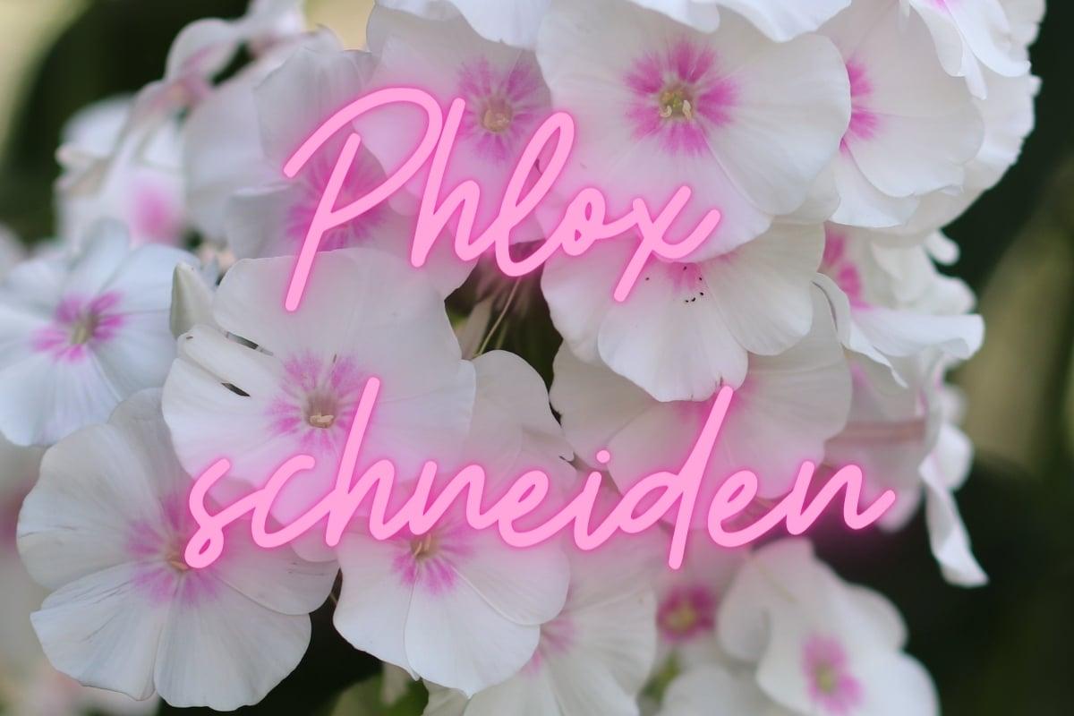 Phlox schneiden: wann und wie? Titelbild