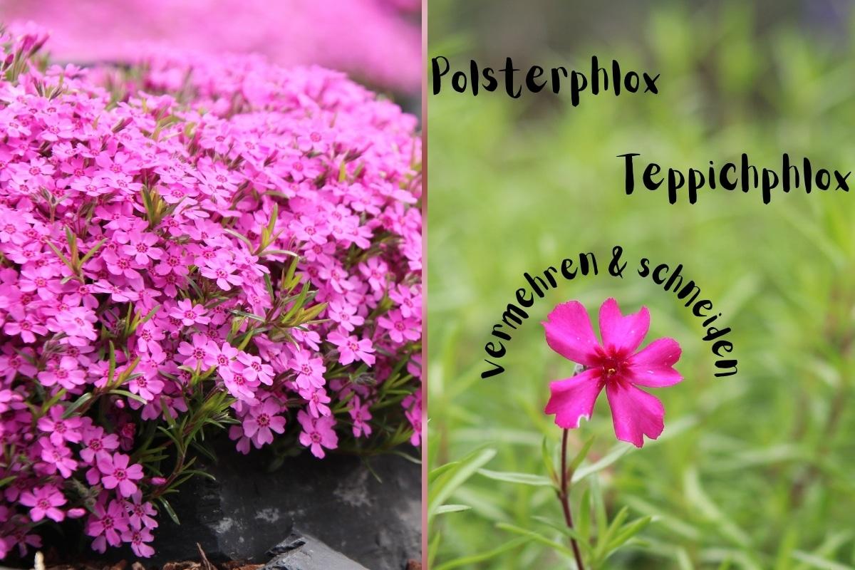 Polsterphlox, Teppichphlox: vermehren & schneiden - Titelbild