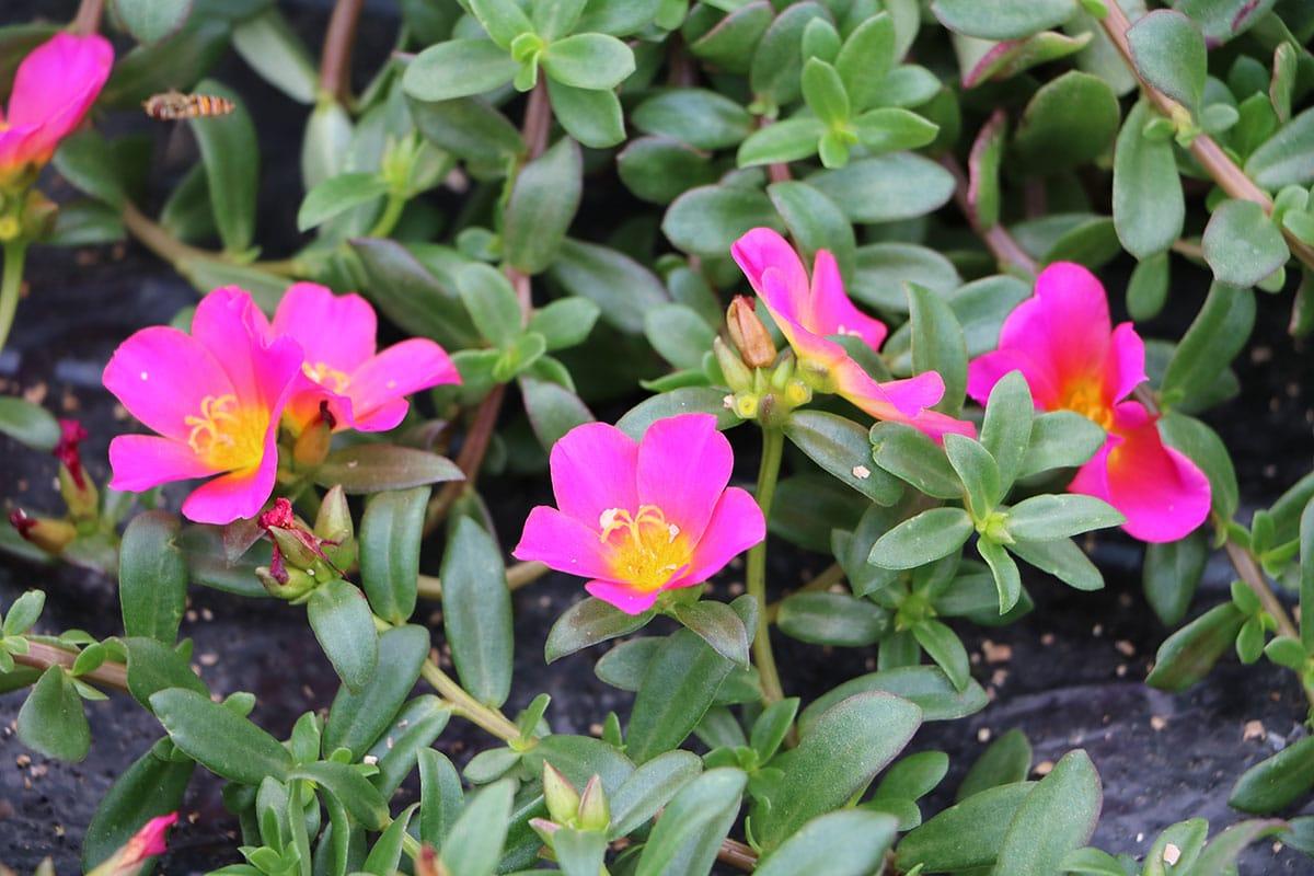Portulakröschen (Portulaca grandiflora)