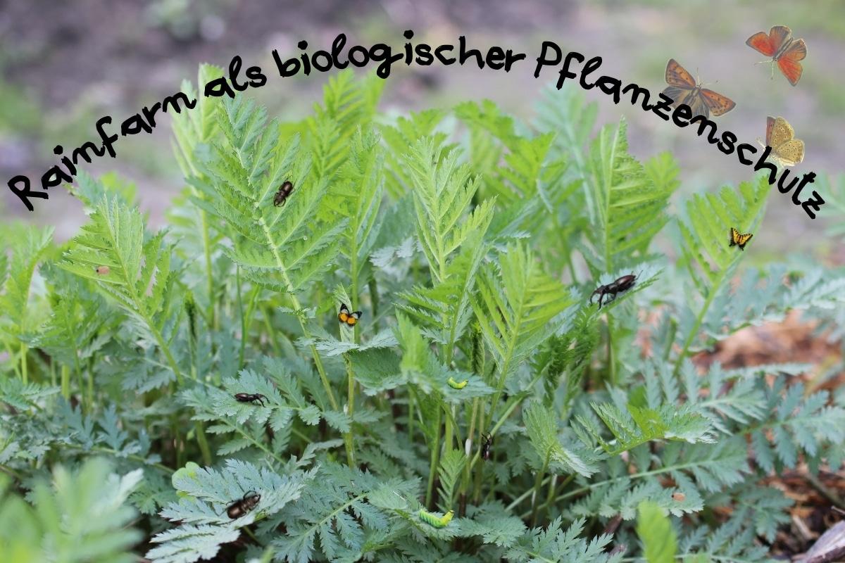 Rainfarn als biologischer Pflanzenschutz: Kartoffelkäfer & Co - Titelbild