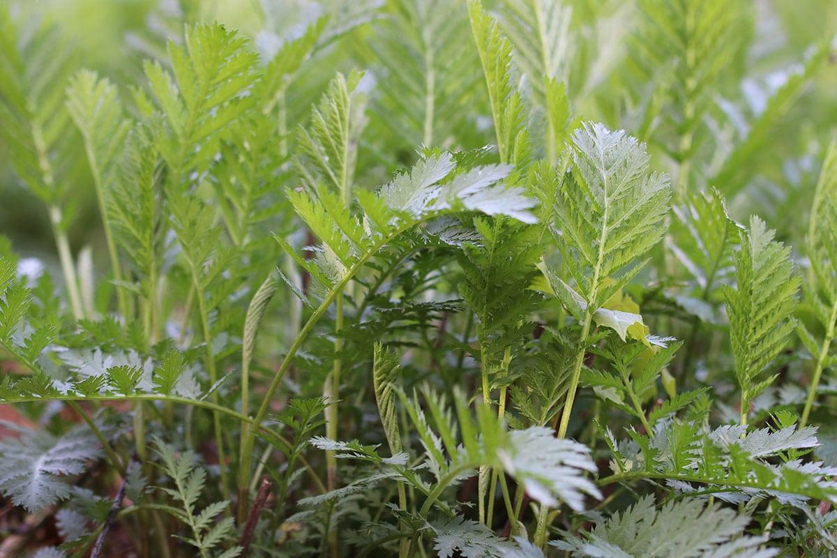 Rainfarn (Tanacatum vulgare)