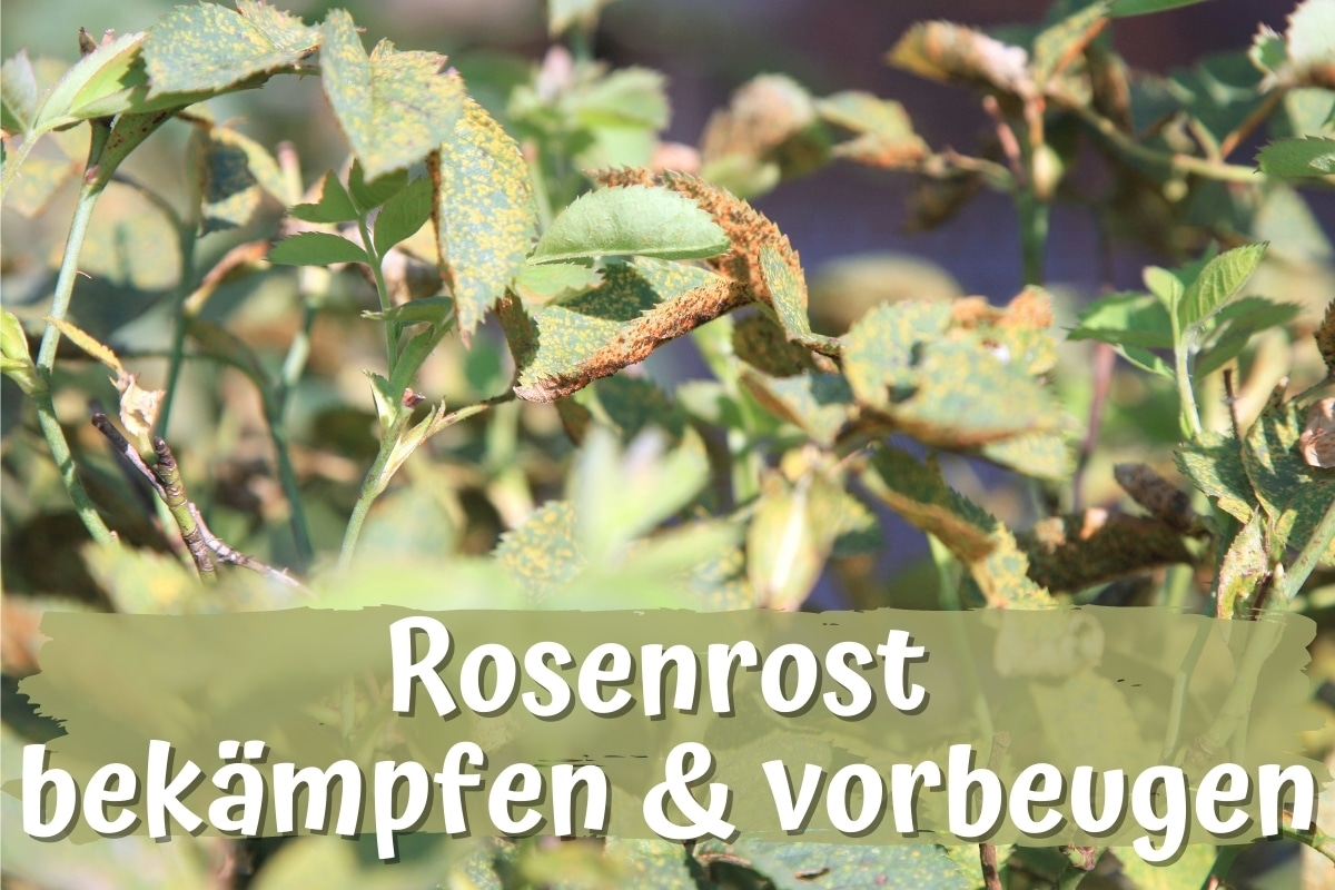 Rosenrost bekämpfen & vorbeugen - Titelbild