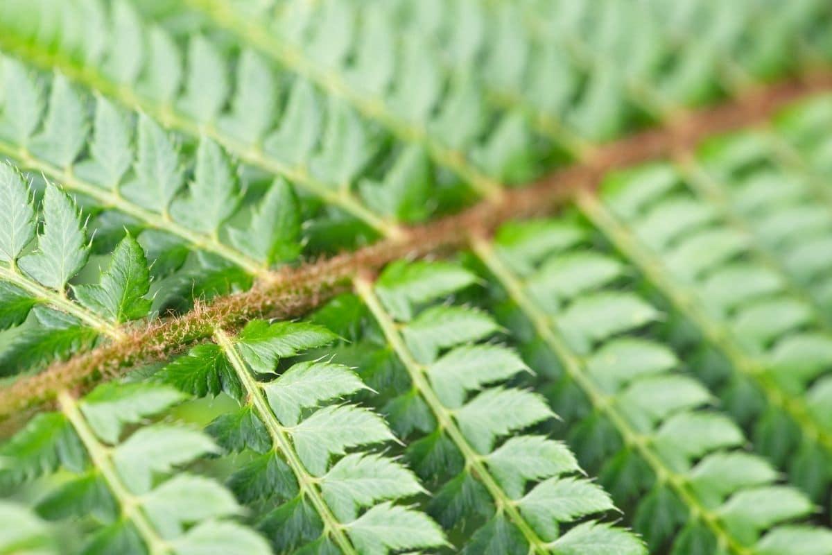Schildfarn (Polystichum luctuosum)