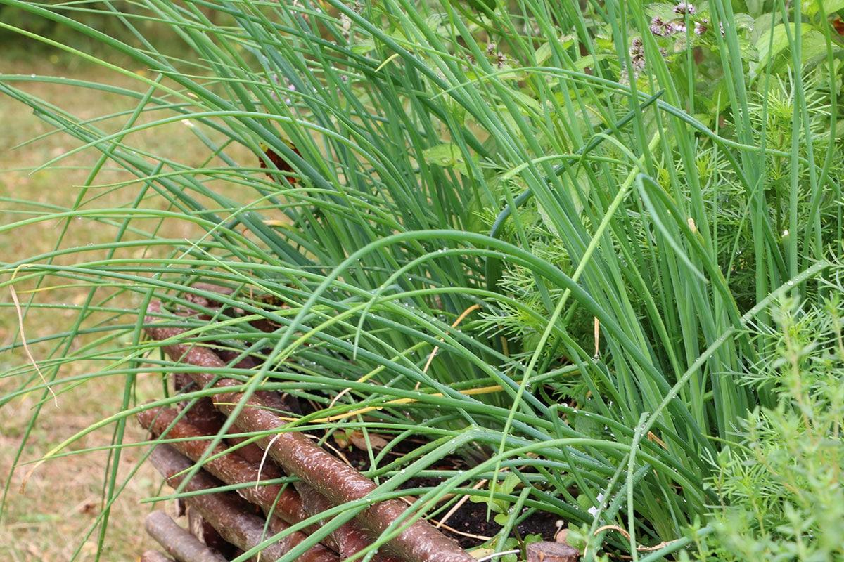Schnittlauch (Allium schoenophrasum)