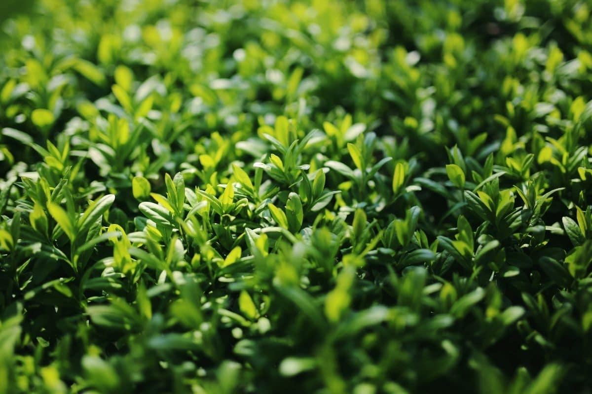 Schwarzgrüne Liguster 'Atrovirens' (Ligustrum vulgare Atrovirens)