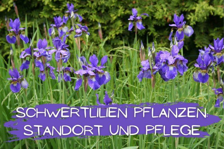 Schwertlilien pflanzen: Standort und Pflege -Titelbild