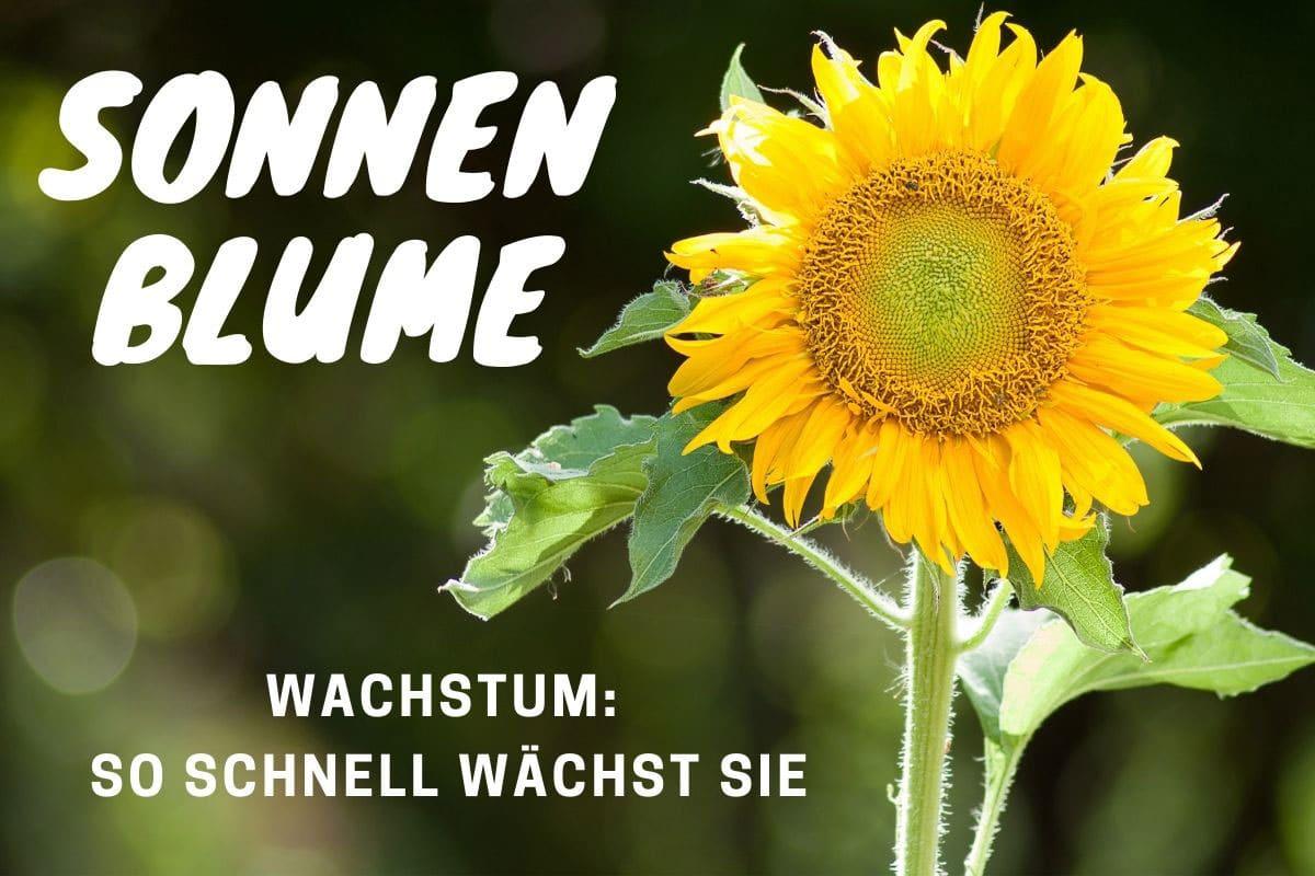 Sonnenblumen Wachstum: so schnell wachsen sie- Titelbild