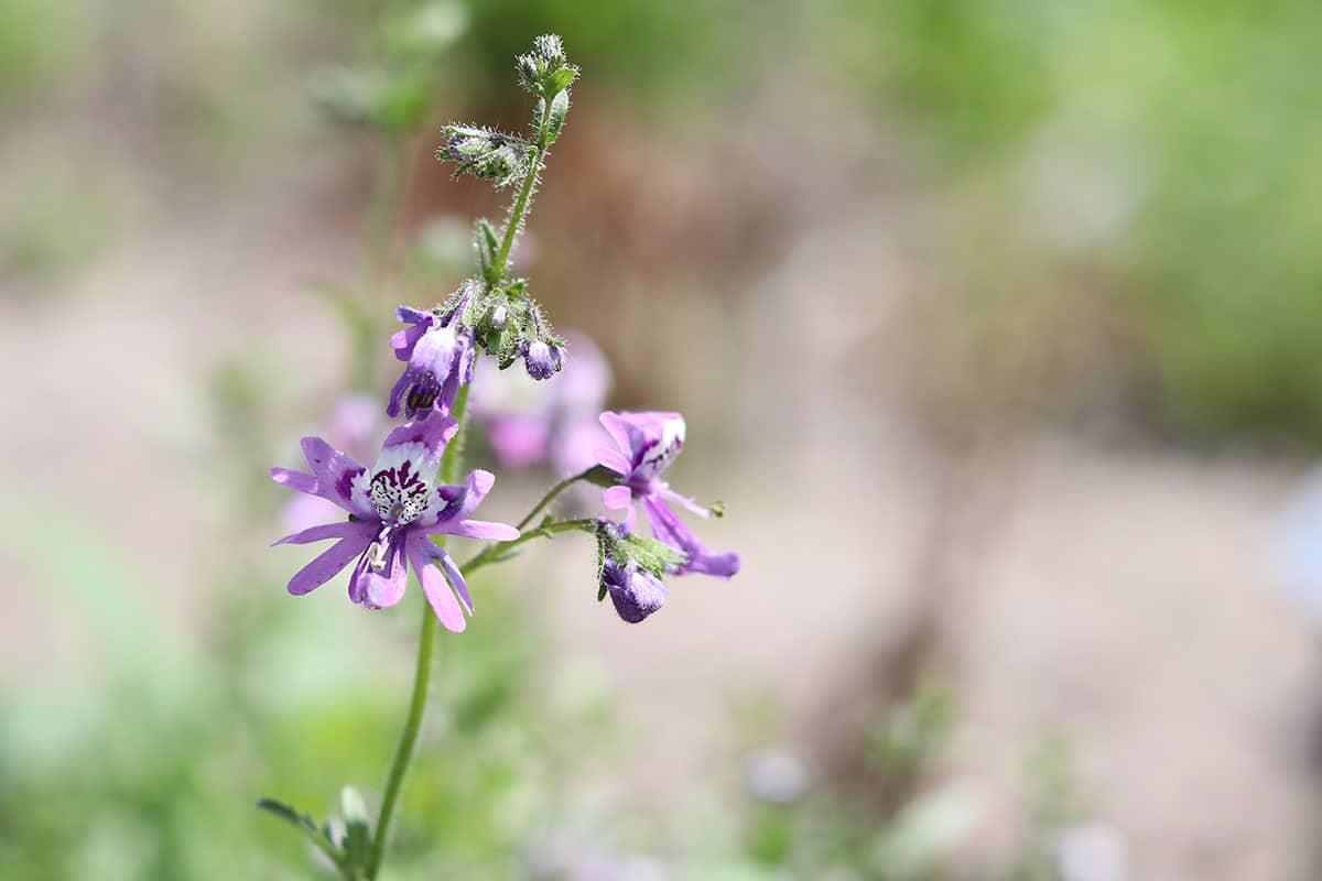 Pflanze für Blumenampel: Spaltblume (Schizanthus)