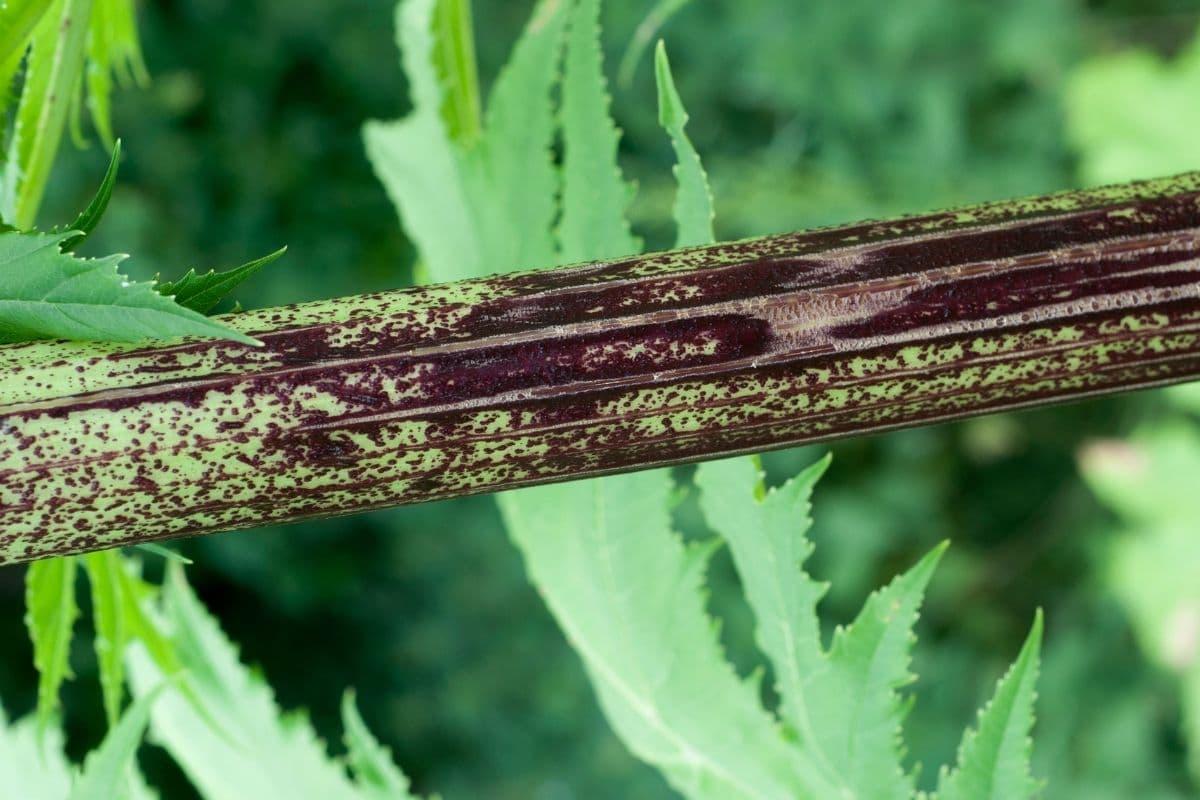 Stängel des Riesenbärenklaus (Heracleum mantegazzianum)