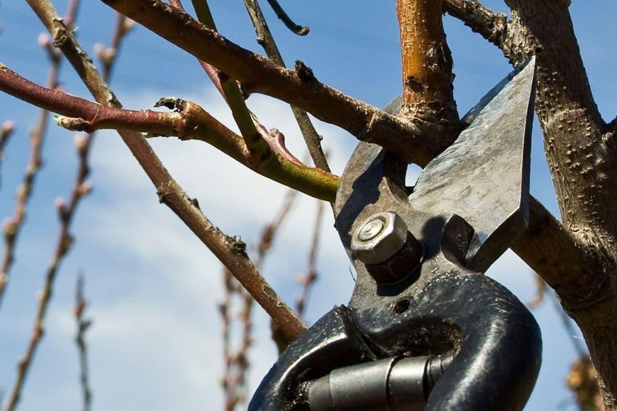 Korkenzieherweide vermehren: Steckhölzer schneiden