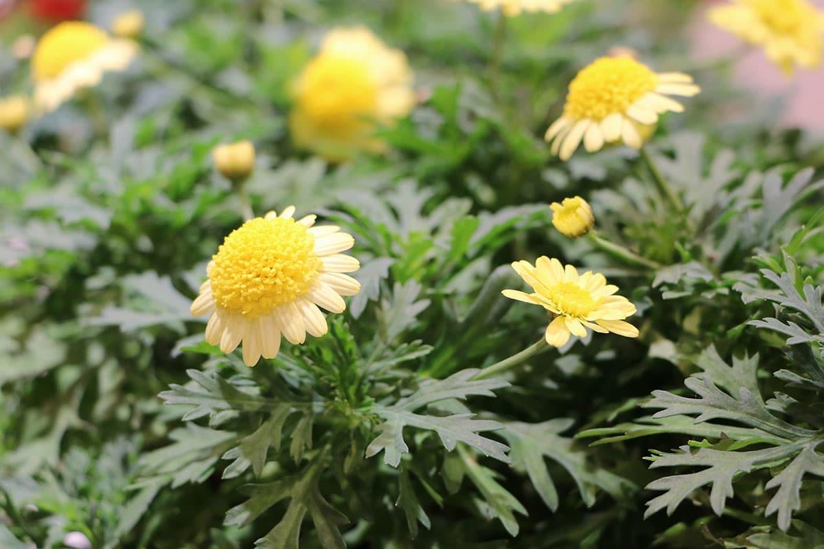 Strauchmargerite (Argyranthemum frutescens)