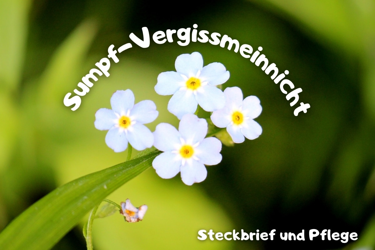 Sumpf-Vergissmeinnicht: Steckbrief & Pflege - Titelbild