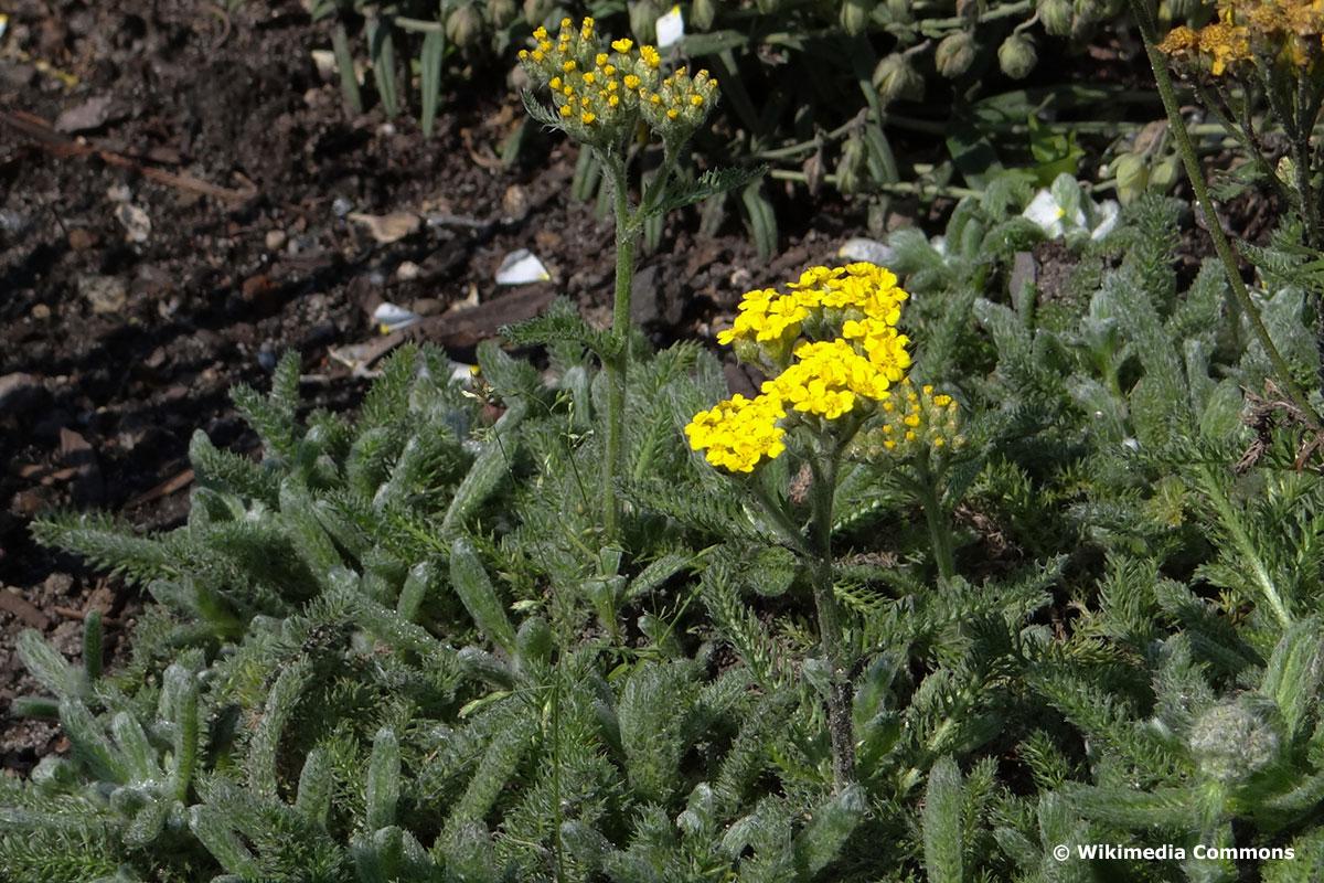 Teppich-Schafgarbe 'Aurea' (Achillea tomentosa 'Aurea')