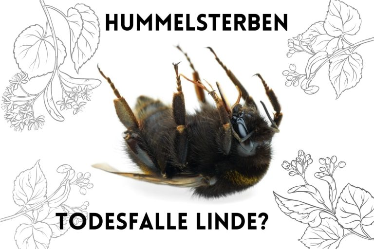 Todesfalle Linde? Hummelsterben unter Linden