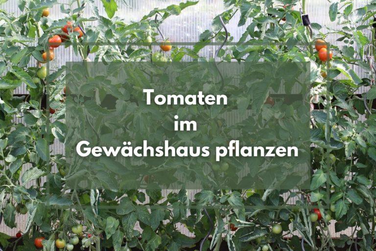 Tomaten im Gewächshaus pflanzen | so klappt's - Titelbild