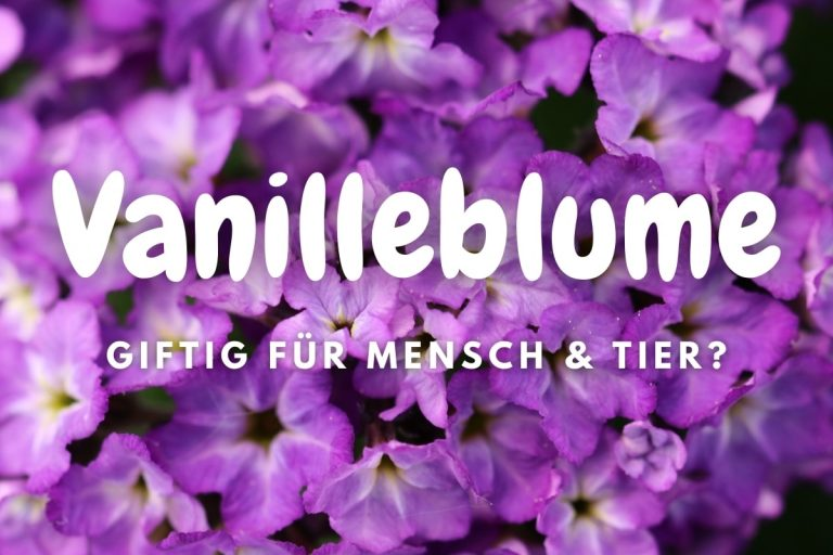 Vanilleblume giftig für Mensch & Tier - Titelbild