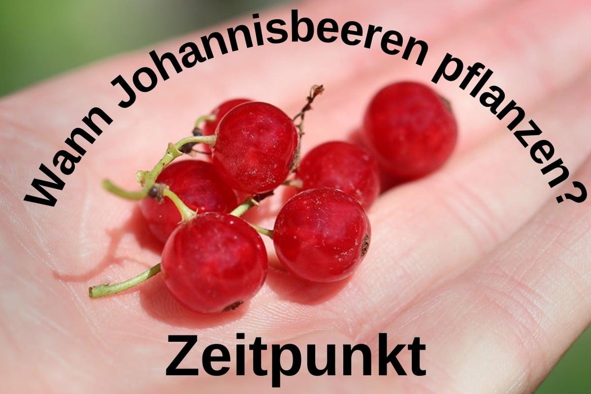 Zeitpunkt: wann Johannisbeeren pflanzen? Titelbild