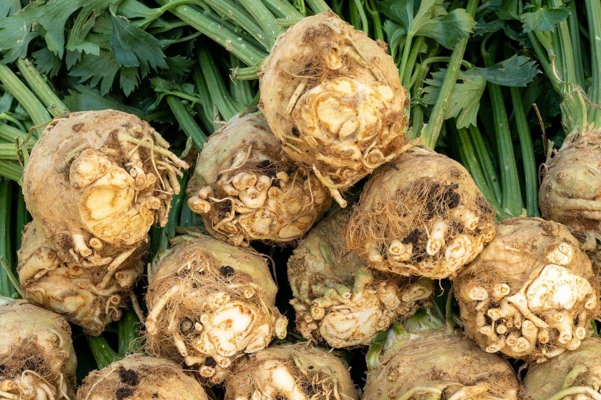 Heimisches Knollengemüse: Knollensellerie/Wurzelsellerie (Apium graveolens var. rapaceum)