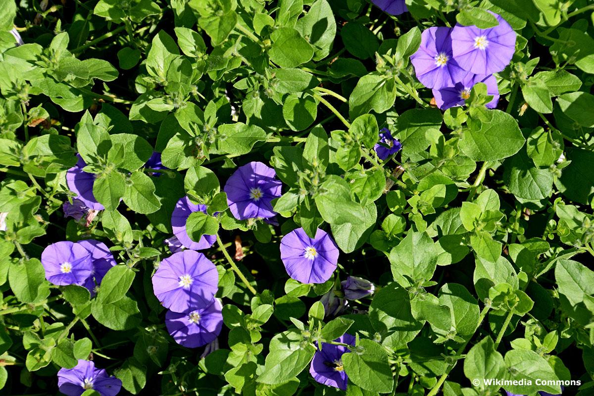 Pflanze für Blumenampel: Blaue Mauritius (Convolvulus sabatius)