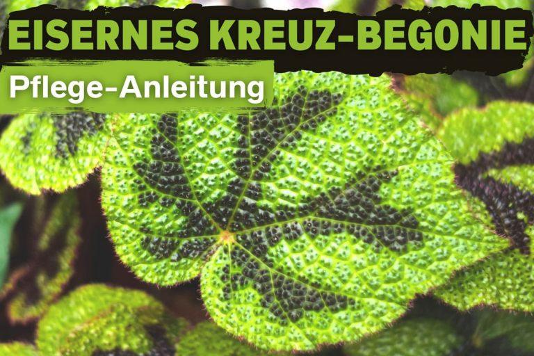 Eisernes Kreuz-Begonie (Begonia masoniana)