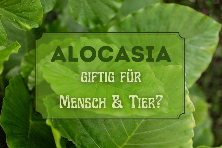 Alocasia giftig - Titel