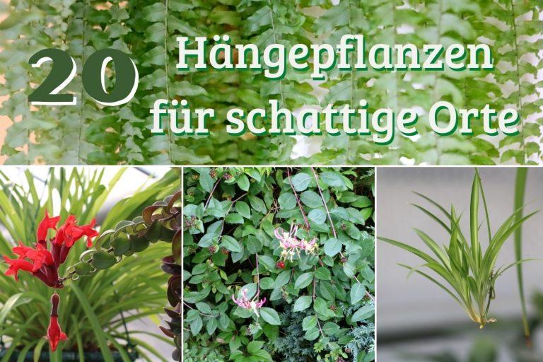 Hängepflanzen für schattige Orte - Titel