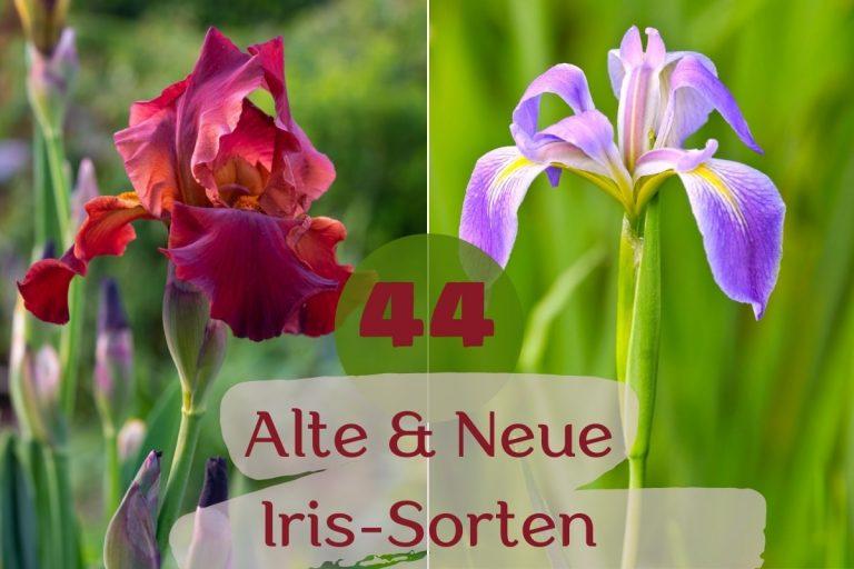 Iris-Sorten - Titel