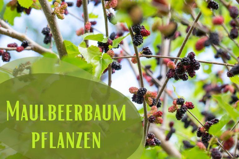 Maulbeerbaum pflanzen - Titel