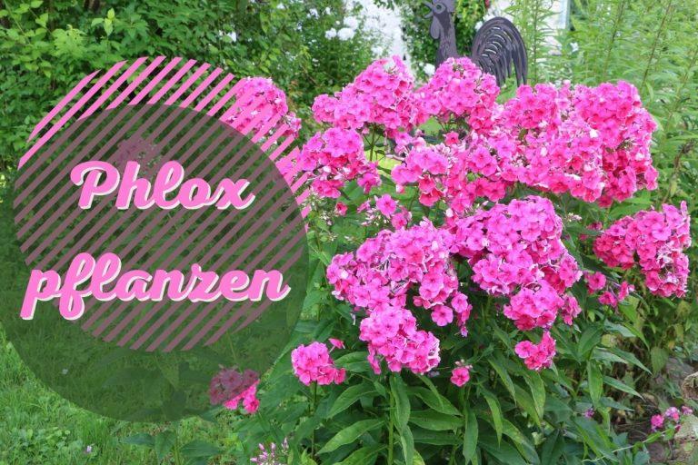 Phlox pflanzen - Titel