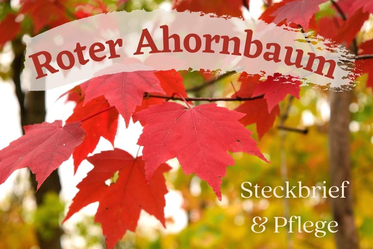 Roter Ahornbaum - Titel