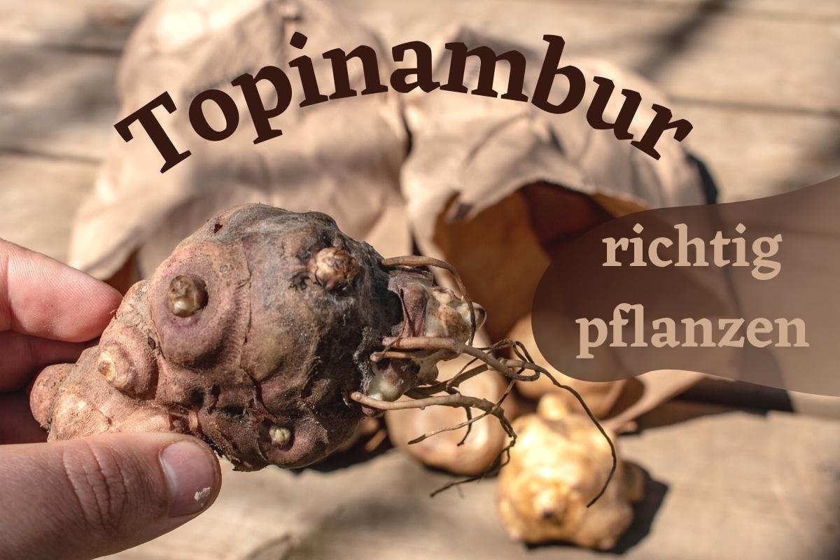 Topinambur pflanzen - Titel