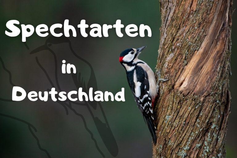 10 Spechtarten in Deutschland mit Bild - Titelbild
