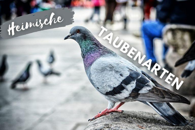 11 heimische Taubenarten mit Bild - Titelbild