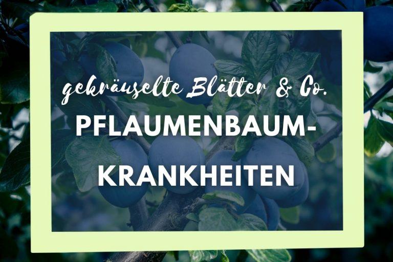 16 Pflaumenbaum-Krankheiten: gekräuselte Blätter & Co - Titelbild