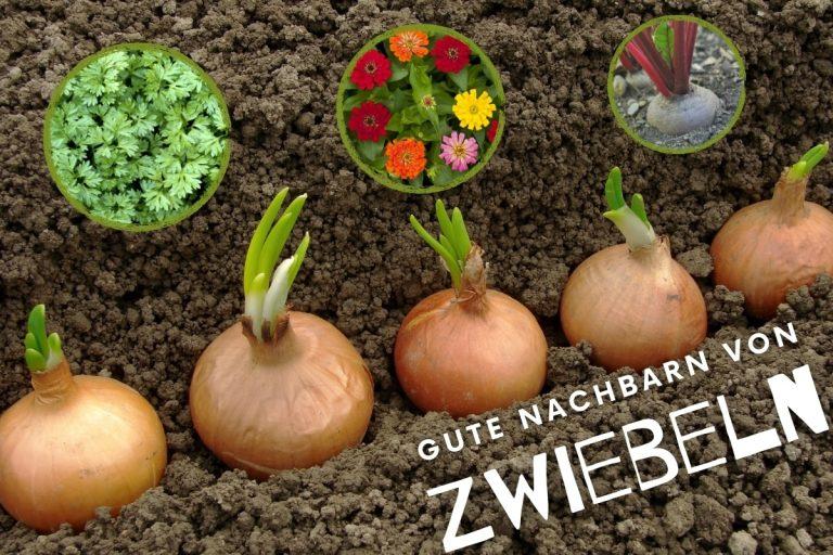 25 gute Nachbarn von Zwiebeln - Titelbild