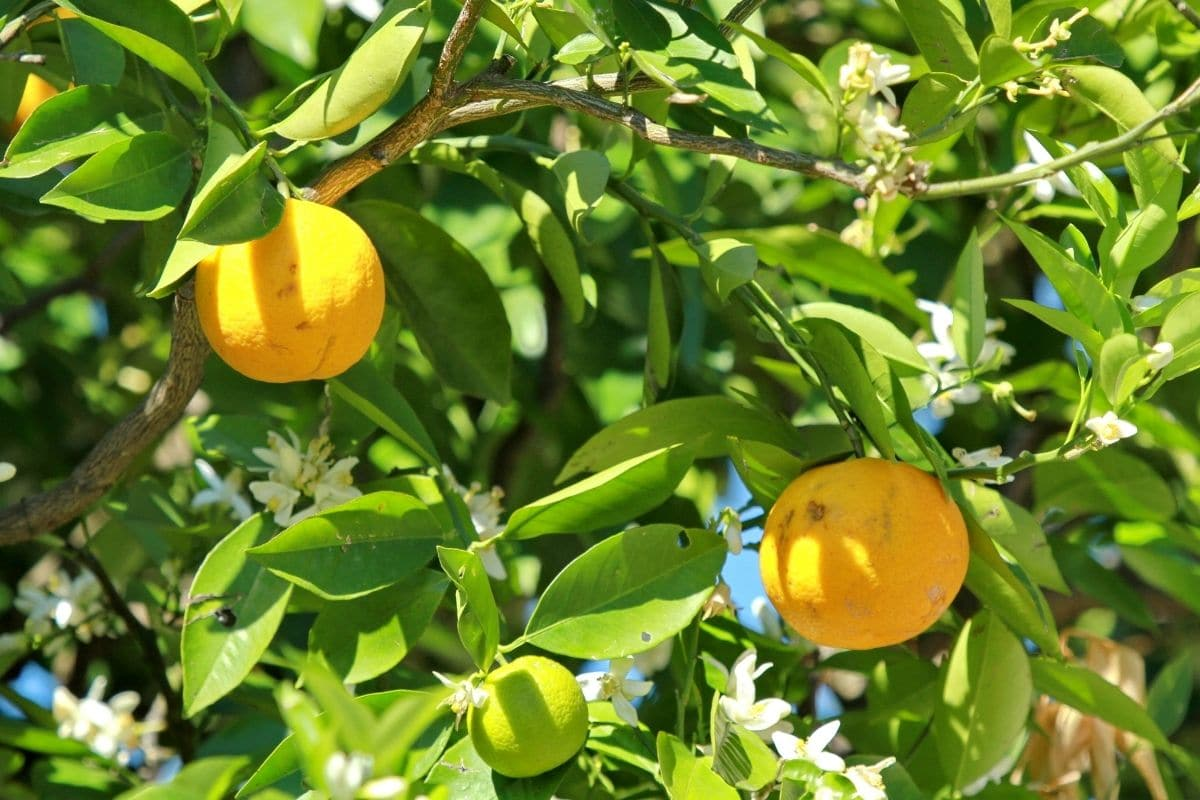 Apfelsine (Citrus × sinensis L.)