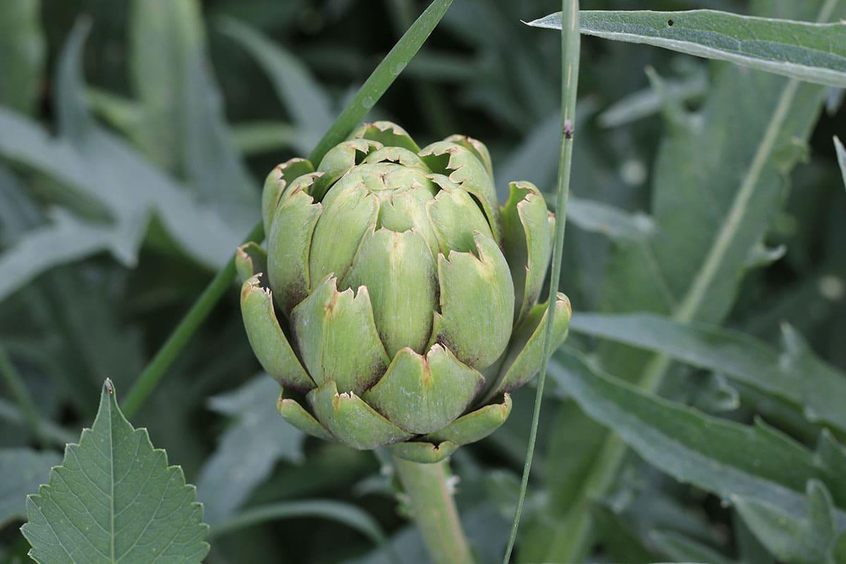 Gemüse mit A: Artischocke ( Cynara cardunculus subsp. scolymus)