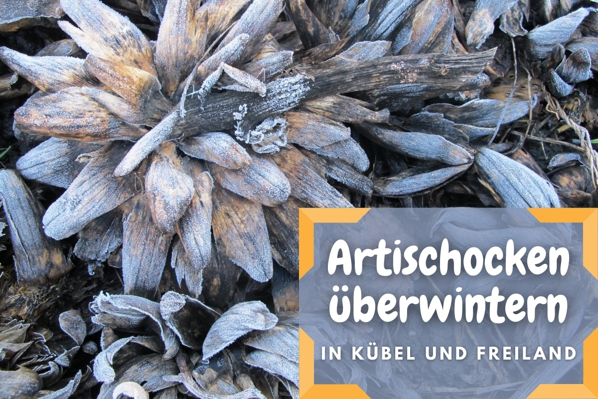 Artischocken überwintern in Kübel und Freiland - Titelbild