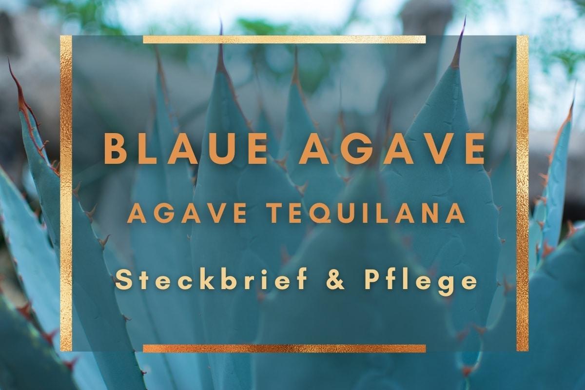 Blaue Agave, Agave tequilana: Steckbrief & Pflege - Titelbild