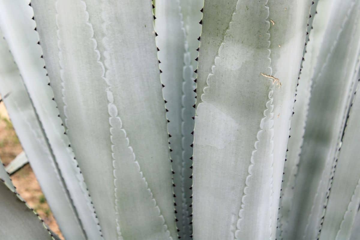 Stacheln der Agave