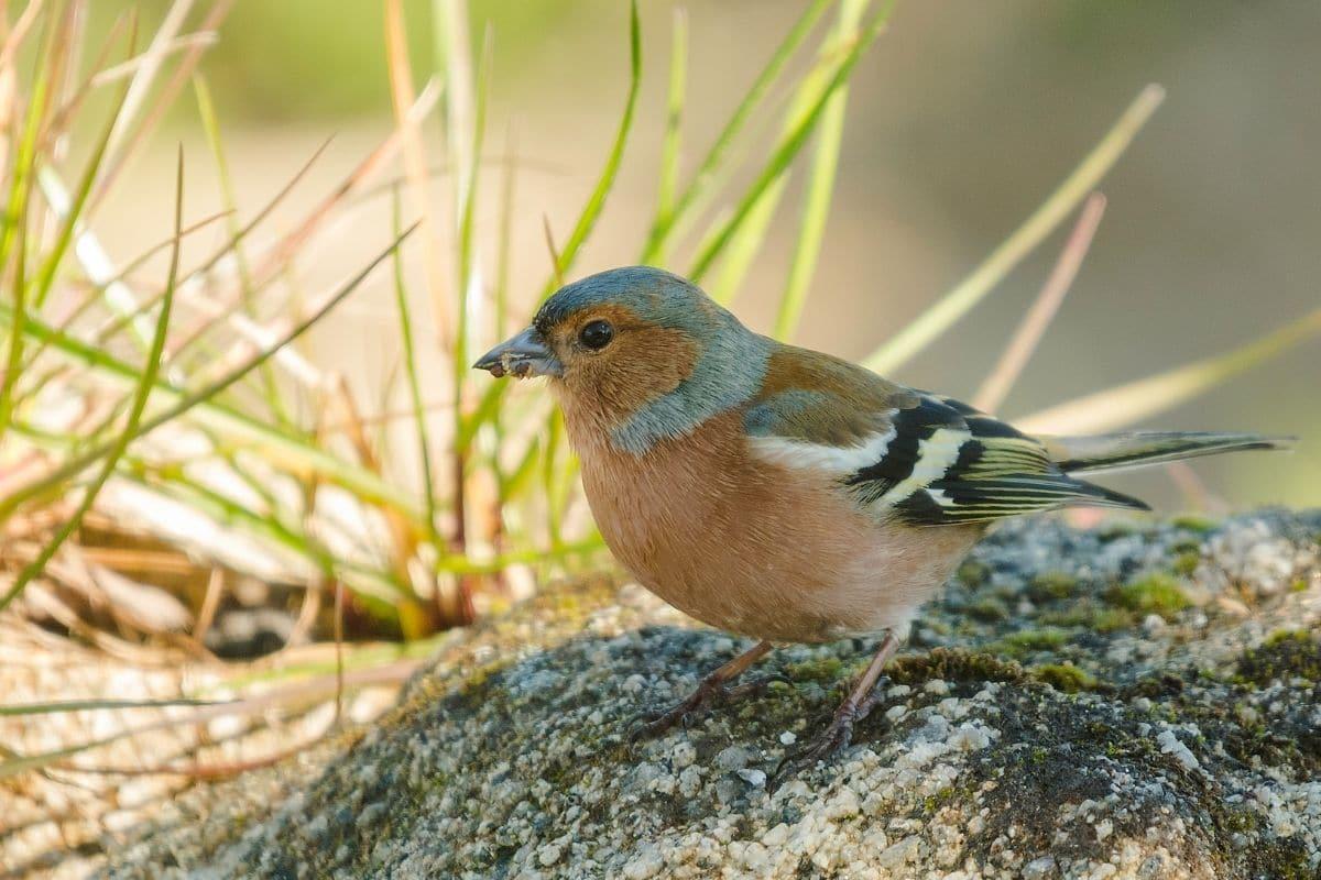 Vogelgesang: Buchfink (Fringilla coelebs)