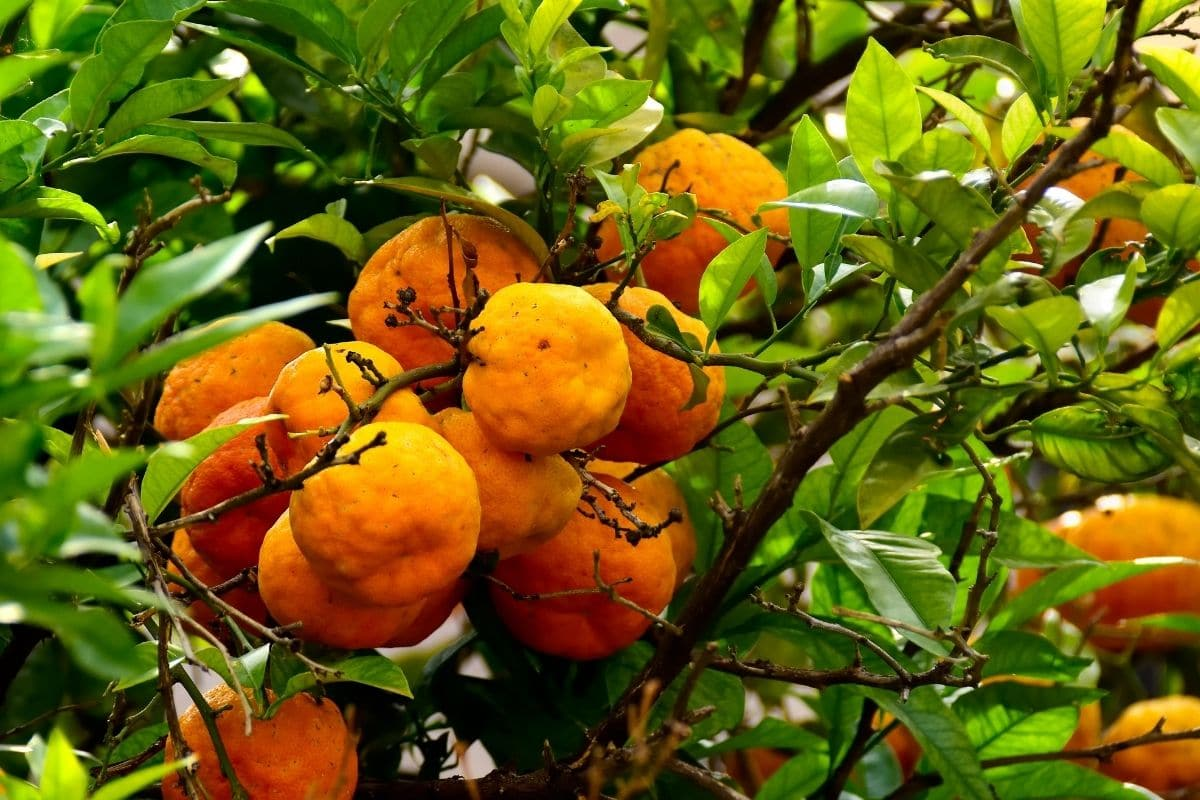 Obst mit V: Citrus X sinensis 'Valencia Late'