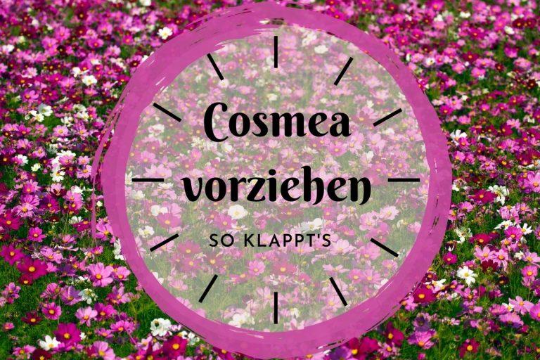 Cosmea vorziehen in 7 Schritten - Titelbild