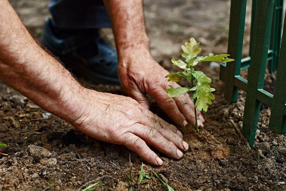 Eiche pflanzen_Eiche Wachstum