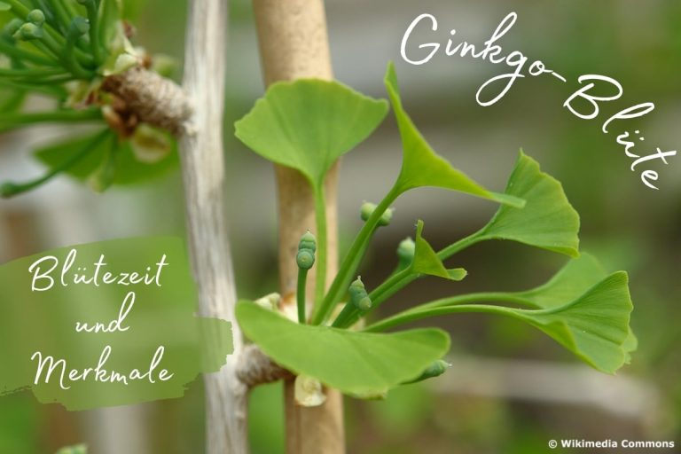 Ginkgo-Blüte: Blütezeit & Merkmale - Titelbild